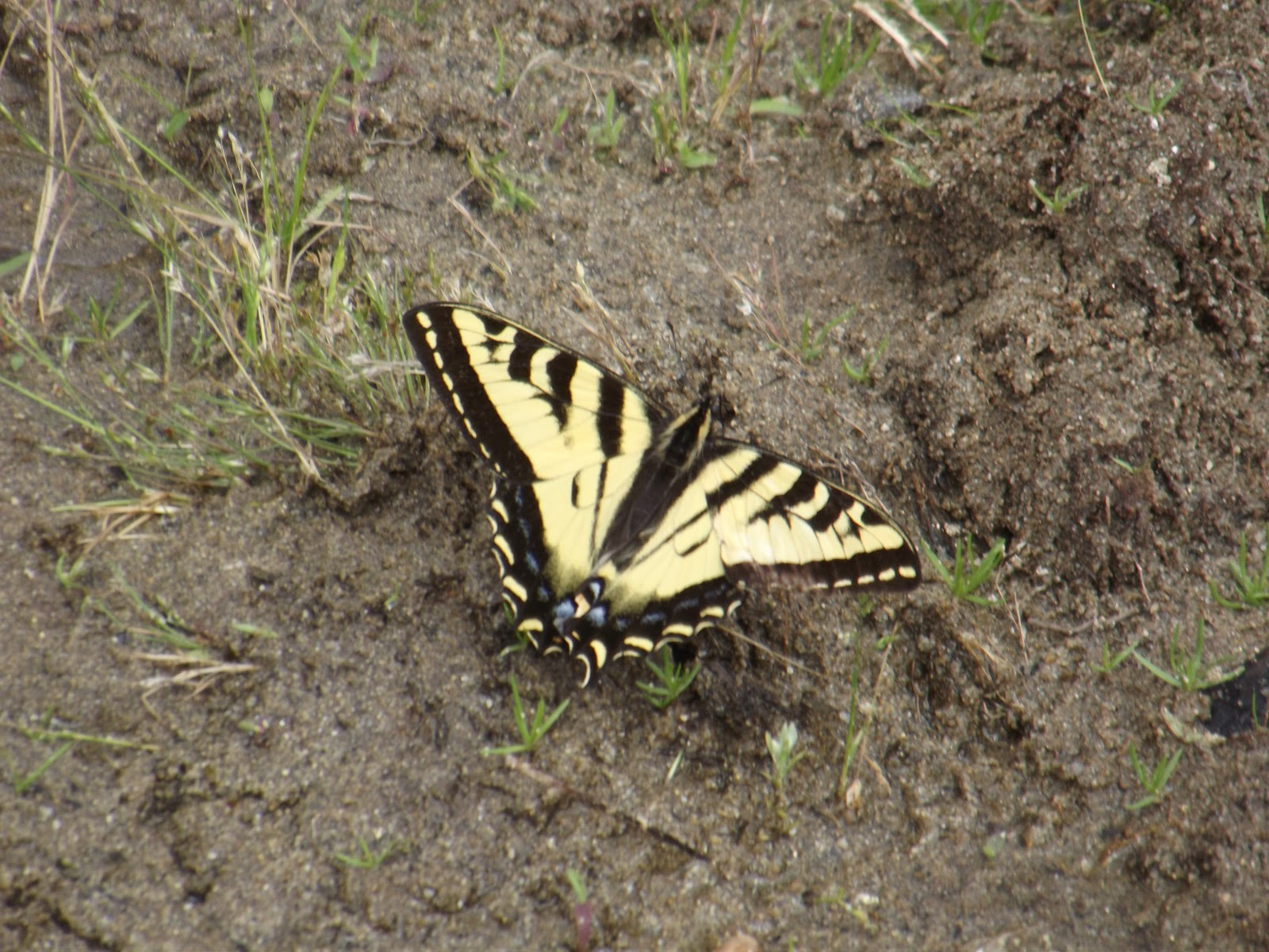 Single butterfly on the ground