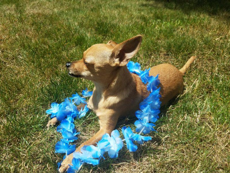 Chihuahua lying down wearing a blue garland