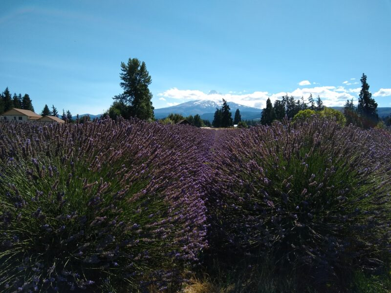 Oregon lavender field with Mount Hood in the background