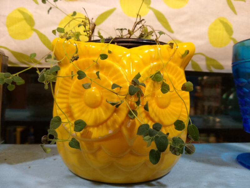 Ceramic yellow owl planter with thyme