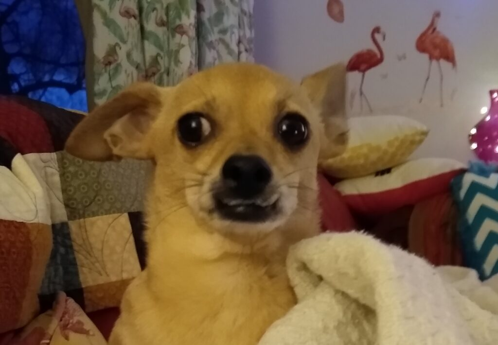 Chihuahua in a blanket